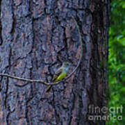 Greater Crested Flycatcher Poster