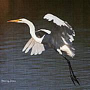 Greater Egret Landing Poster