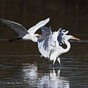 Greater Egrets Meet Up  Poster