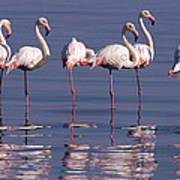 Greater Flamingo Group Poster
