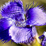 Greater Fringed Gentian Poster