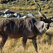Greater Kudu Grazing Poster