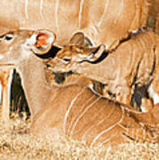 Greater Kudu Mother And Baby Poster