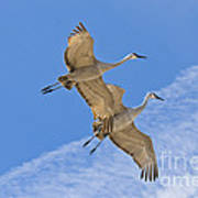 Greater Sandhill Cranes In Flight Poster