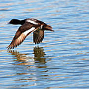 Greater Scaup In Flight Poster