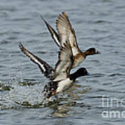 Greater Scaup Pair Poster