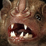 Greater Spear-nosed Bat Poster