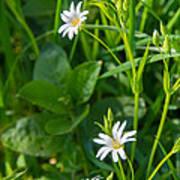 Greater Stitchwort Stellaria Poster