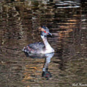 Grebe Reflection Poster