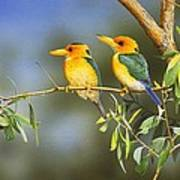 Green And Gold - Yellow-billed Kingfishers Poster