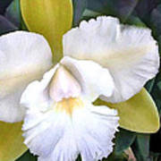 Green And White Cattleya Orchid Poster
