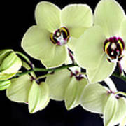 Green And Wine Hybrid Phalaenopsis Orchid Poster