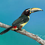 Green Aracari On Branch Poster
