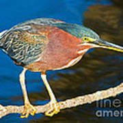 Green-backed Heron Poster