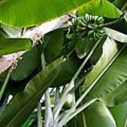 Green Bananas On A Tree Poster