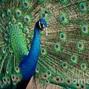 Green Beautiful Peacock Poster