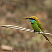 Green Bee-eater Poster