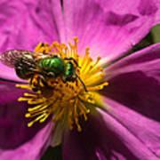 Green Bee Feeding On Rock Rose Poster