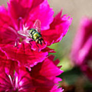 Green Bottle Fly On Dianthus  Poster