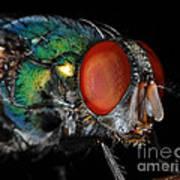 Green Bottle Fly Poster