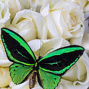 Green Butterfly With White Roses Poster