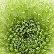 Green Chrysanthemum Poster by Lesley Rigg