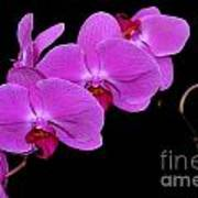Green Field Sweetheart Orchid No 2 Poster