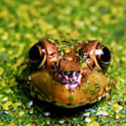 Green Frog Hiding Poster