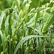Green Grass After Rain Poster
