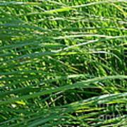 Green Grass Growing Poster