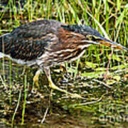 Green Heron And Catch Poster