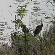 Green Heron At The Pond Poster