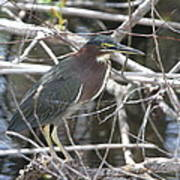 Green Heron In Everglades Np Poster