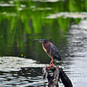 Green Heron Perch Poster