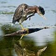 Green Heron Pictures 488 Poster