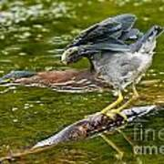 Green Heron Pictures 522 Poster