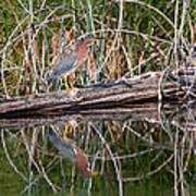 Green Heron Reflections Squared Poster