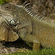 Green Iguana Guayaquil Ecuador Poster
