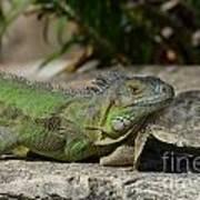 Green Iguana Lizard Poster