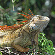Green Iguana Male Portrait Central Poster