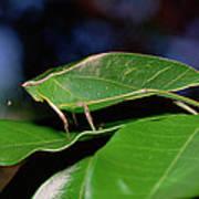 Green Leaf-mimic Katydid Steirodon Poster