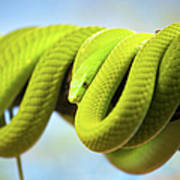 Green Mamba Coiled Up On A Branch Poster