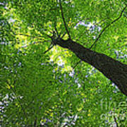 Green Maple Canopy Poster