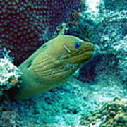 Green Moray Eel With Cleaning Fish Poster