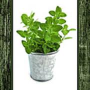Green Oregano Herb In Small Pot Poster