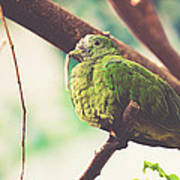 Green Pigeon Poster