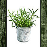 Green Rosemary Herb In Small Pot Poster