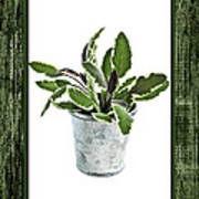 Green Sage Herb In Small Pot Poster by Elena Elisseeva