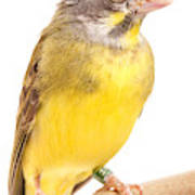 Green Singing Finch Crithagra Mozambicus Poster