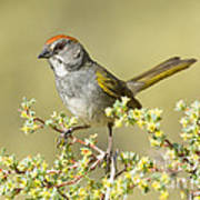 Green-tailed Towhee Poster